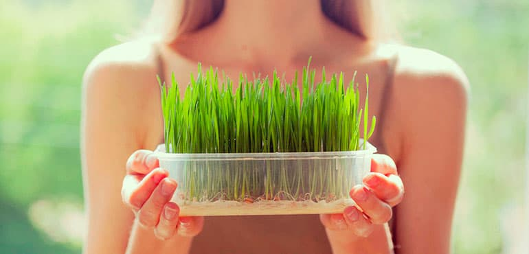 wheatgrass pasto de trigo verde superalimento propiedades beneficios